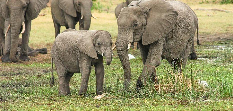 Les éléphants d'Afrique